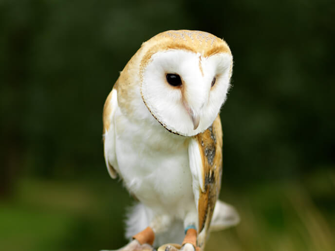 Rocket the Barn Owl