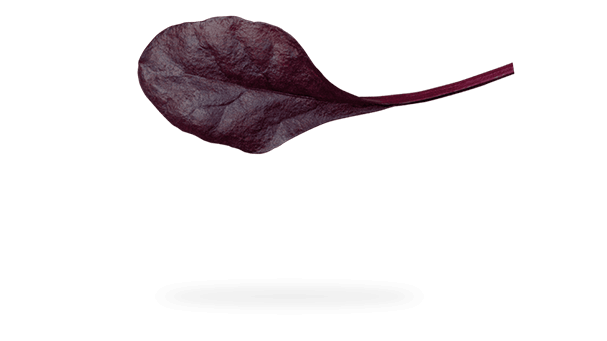 Floating Crimson Chard leaf