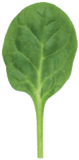 Small, tasty spinach leaf